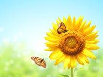 Solrosor och två fjärilar på suddig solig bakgrund arkivfoto