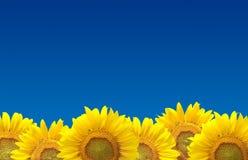 Solrosor på den blåa skyen Arkivfoto