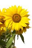Solrosor på den vita closeupen Royaltyfria Bilder