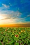 Solrosor på en härlig solnedgång Royaltyfri Fotografi