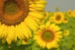 Solrosor på fält i sommar Royaltyfria Foton