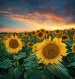 Solrosor på fält under soluppgång Royaltyfria Foton