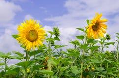Solrosor på fältet med himmelbakgrund Fotografering för Bildbyråer
