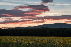 Solrosor på solnedgången Royaltyfria Bilder