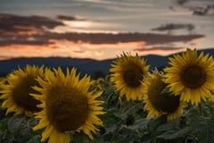 Solrosor på solnedgången Arkivfoton