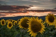 Solrosor på solnedgången Arkivfoto