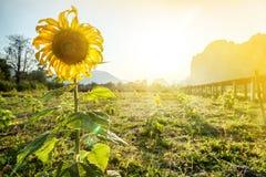 Solrosor på solnedgången, blom- naturlig bakgrund, skönhet av naturen Royaltyfri Foto