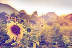 Solrosor på solnedgången, blom- naturlig bakgrund, skönhet av naturen Arkivfoton