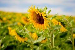Solrosor på sommarfält Royaltyfria Bilder