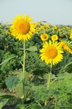 Solrosor p? soluppg?ng fotografering för bildbyråer
