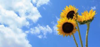 3 solrosor R Fotografering för Bildbyråer