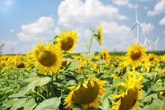 Solrosor sätter in i sen sommar som är klar för skörd Royaltyfria Foton