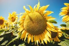 Solrosor sätter in i solig dag Arkivbilder
