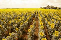 solrosor sätter in i sommar Arkivfoton