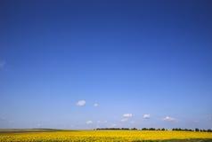 Solrosor sätter in och himmel Arkivfoton