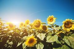 Solrosor sätter in på himmelbakgrund Arkivfoto