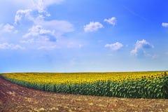 Solrosor sätter in på solig dag Fotografering för Bildbyråer