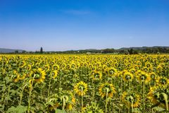 Solrosor sätter in, Provence, Frankrike royaltyfri bild