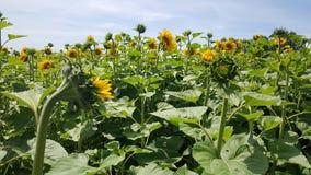 Solrosor som är utomhus- i fält på solen Royaltyfria Foton