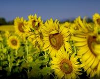 Solrosor som blommar i ett fält Arkivbilder