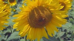 Solrosor som blomstrar i jordbruks- fält på sommar, övre sikt för slut Bi som samlar pollen från huvudet av solrosen lager videofilmer