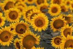Solrosor som jublar i solen arkivbild