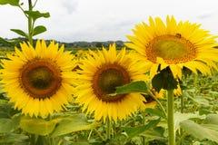 solrosor tuscany Arkivfoton