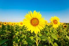 solrosor två Royaltyfria Foton
