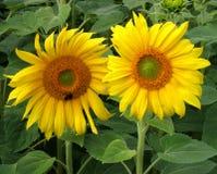 solrosor två Royaltyfria Bilder