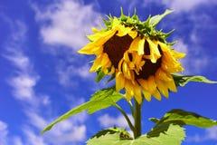 solrosor två Fotografering för Bildbyråer