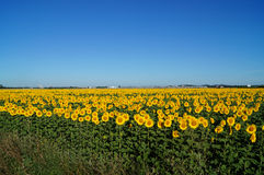 Solrosor vänder solen Arkivfoton