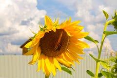 Solrospollen i trädgården Royaltyfri Fotografi