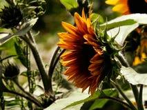 Solrosprofil Royaltyfria Bilder