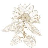 Solrosteckning monokrom version på vit Royaltyfria Bilder