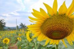 Solrosträdgård Royaltyfri Bild