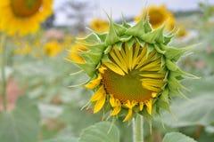 Solrosträdgård Arkivbild