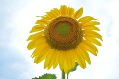 Solrosträdgård Royaltyfri Fotografi