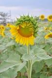 Solrosträdgård Fotografering för Bildbyråer