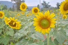 Solrosträdgård Arkivfoton
