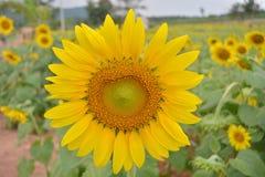 Solrosträdgård Arkivbilder
