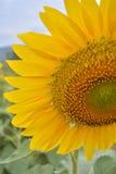 Solrosträdgård Royaltyfri Foto