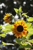 Solrosväxt Backlit av solljuset Royaltyfria Foton
