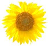 solrosvektor Fotografering för Bildbyråer
