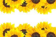solroswhite Arkivfoto