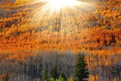 Solsignalljus över asp- träd Arkivfoton