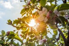 Solsken bak träd Fotografering för Bildbyråer