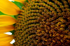 Solsken i en blomma Arkivfoto