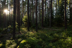 Solsken i en frodig och grönskande skog i sommar Royaltyfria Bilder