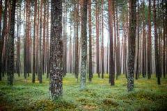 Solsken i skog Arkivfoto
