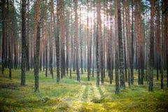Solsken i skog Arkivbild